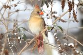 foto of cardinal  - Female Northern Cardinal  - JPG