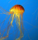 Aquarium with bright blue water. Yellow-orange jellyfish with thin feelers