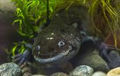 The Axolotl Salamander