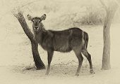 stock photo of bosveld  - Sepia Toned Picture of Alert Waterbuck Listening Carefully to Every Sound - JPG