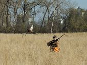 foto of pheasant  - A hunter with a flushing rooster pheasant - JPG
