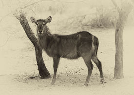 pic of bosveld  - Sepia Toned Picture of Alert Waterbuck Listening Carefully to Every Sound - JPG