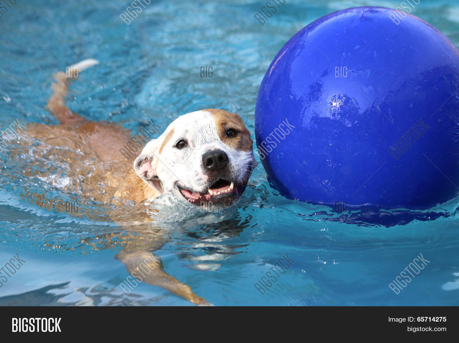 Dog swimming with ball stock photo stock images bigstock Hatfield swimming pool prices