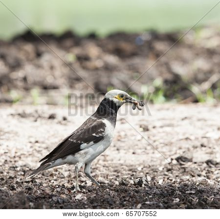 Black Collared Starling Birds Feeding On Ground With Earth Worm In Mouth Billed