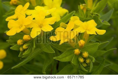 Plains Pucoon Wildflowers