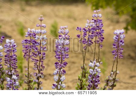 Blue Lupine Wildflowers