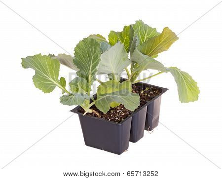 Three Cabbage Seedlings Ready For Transplanting
