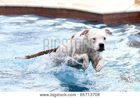 White dog jumping in pool from step