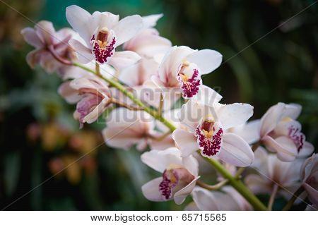 Cymbidium Insigne Orchid In Thailand