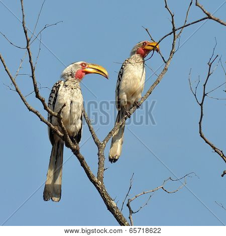 Yellow-billed hornbill (Tockus flavirostris