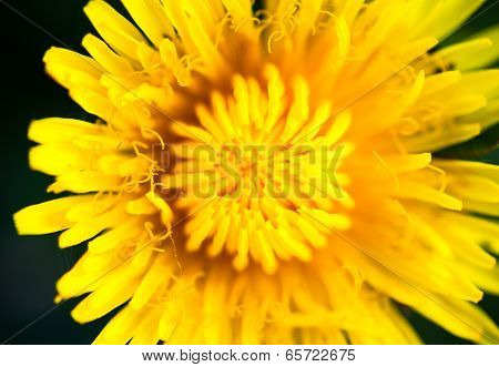 Closeup Of The Blooming Yellow Dandelion Flower