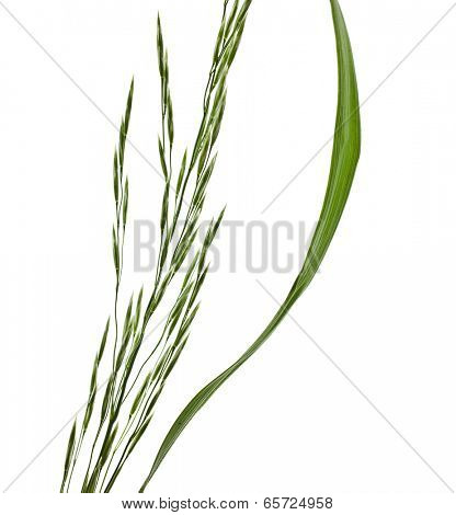 Fresh green herb grass with panicle whisk isolated on white background