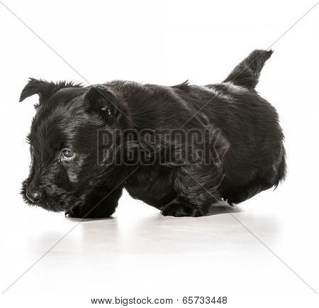 scottish terrier puppy walking toward viewer isolated on white background