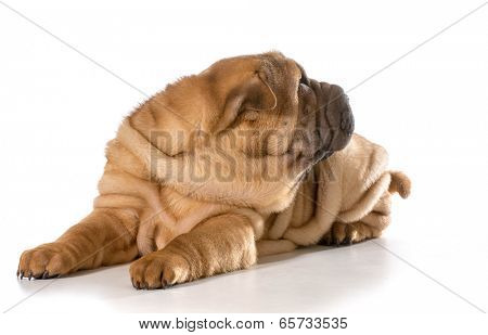 chinese shar pei puppy laying down looking off to the side isolated on white background - 4 months old