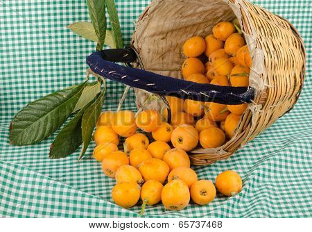 Loquats In Harvesting Basket