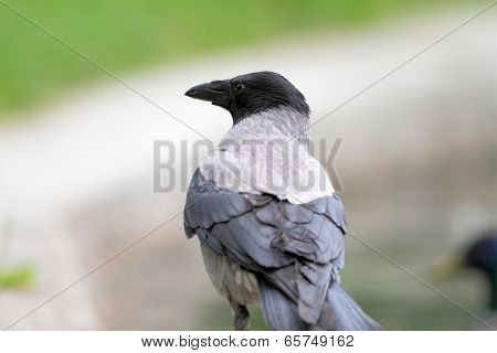 Hooded Crow In The Park