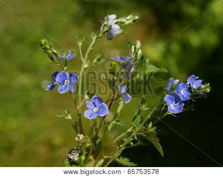 blue flowers of bird's eye wild plant