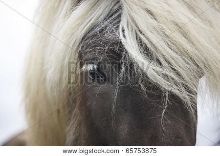Iceland. Vatnsnes Peninsula. Icelandic Horse Close Up.