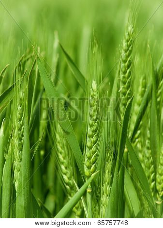 ears of the green unripe wheat photographed by a close up