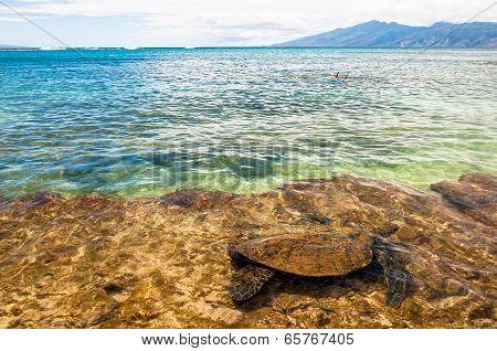 Green Sea Turtle swimming in ocean - Maui, Hawaii