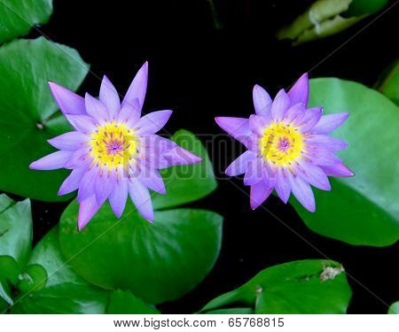 Purple Lotus,purple Waterlily