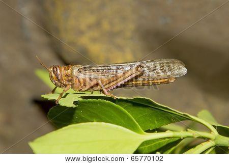 Desert Locust (Schistocerca gregaria)