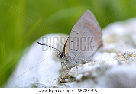 Plebeius Argus Butterfly on top (Silver Studded Blue Butterfly)