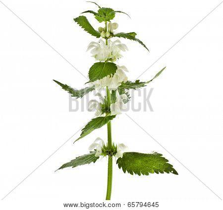 Nettle flowering  (Lamium album) isolated on white background