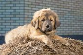 image of tibetan  - Puppy Tibetan Mastiff lying on a straw on a sunny day - JPG