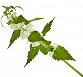 pic of nettle  - Nettle flowering   - JPG