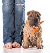 stock photo of shar pei  - dog and owner  - JPG