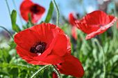 pic of opium  - a colourful of opium flower on sunny day - JPG