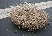 image of weed  - A Genuine Tumble weed aka  - JPG