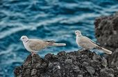 foto of nea  - Pigeon on the Volcanic Rocks nea Atlantic Ocean