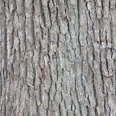 stock photo of elm  - tree Bark of Elm  Seamless Tileable Texture - JPG