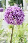 picture of monocots  - Garlic flower in the garden - JPG