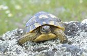 stock photo of centenarian  - Spur thighed turtle  - JPG