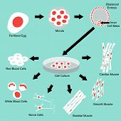 picture of differential  - Illustration of stem cell culture and cell differentiation - JPG