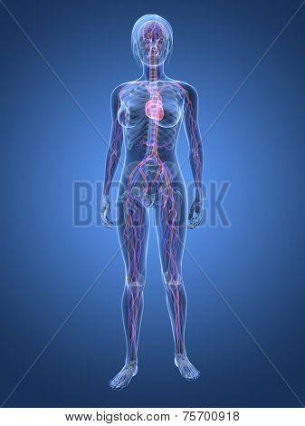woman - vascular system