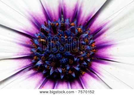 Macro of purple and white flower