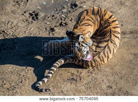 Amur tiger licks bent