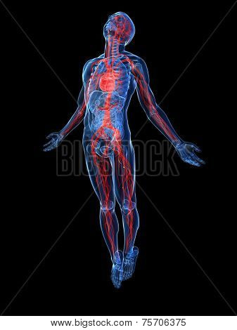highlighted vascular system