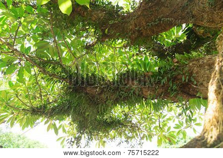 Parasite Plant Grows All Over On Trees