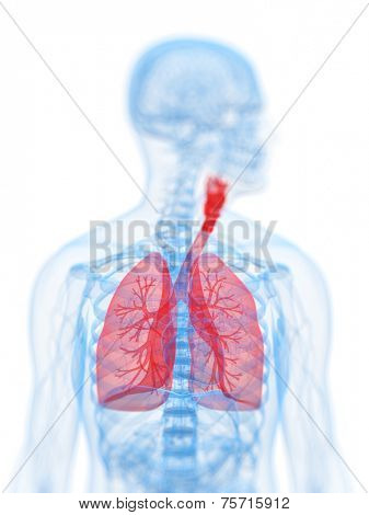 3d rendered, medical illustration of the human respiratory system