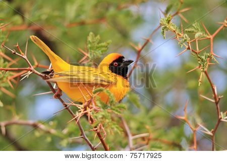 Southern Black Masked Weaver - African Wild Bird Background - Posing Gold