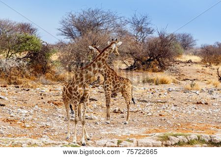 Two Giraffa Camelopardalis Near Waterhole
