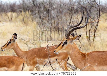 Springbok Antidorcas Marsupialis