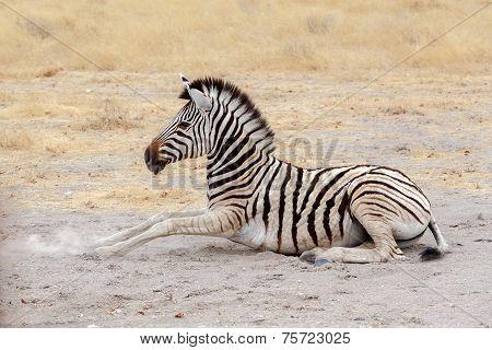 Lying Small Zebra In African Bush