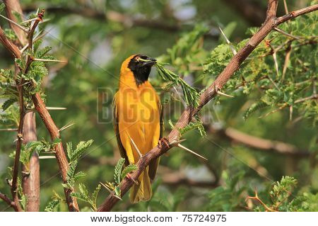 Yellow Weaver - African Wild Bird Background - Leaf of Peace