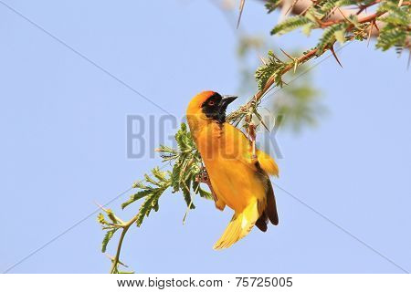 Southern Black Masked Weaver - African Wild Bird Background - Acrobatic Swing